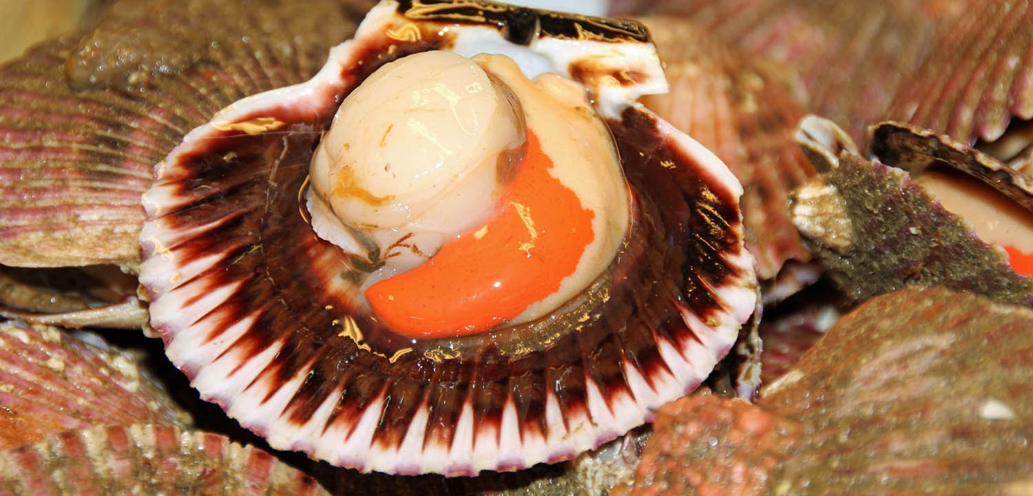 Shell on scallop with roe